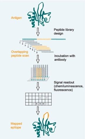 Epitope Mapping Services Service By Creative Peptides